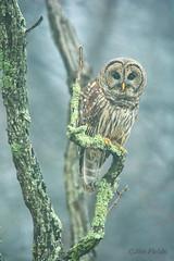 Barred Owl (Jim Fields Photography) Tags: barredowl owl fog forest