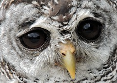 Contemplating (Kevin Pendragon) Tags: eyes beak feathers grey brown black nature bird yellow rufouslegged owl