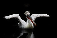 Bird (Hugo von Schreck) Tags: hugovonschreck pelikan bird vogel animal fantasticnature canoneos5dmarkiii sigma150500mm