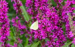 Summer - 4075 (YᗩSᗰIᘉᗴ HᗴᘉS +14 000 000 thx) Tags: summer butterfly flora flower pink papillon nature hensyasmine yasminehens fleur lilas purple color green
