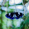 Magpie Crow butterfly (khrawbor.shylla) Tags: butterfly nature macro insect meghalayabutterflies meghalaya magpiecrow tamron90mm28 nikond7000