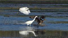 Grand cormoran et aigrettes huppées (MICHELGAILLARD) Tags: