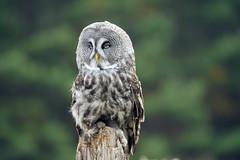 I give you Mr. Beasley (Wil James) Tags: owl sonyilca99m2 tamron tamron150600 bird ontario canada outdoor feathers thoseeyes