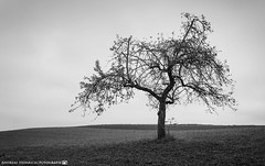 The lonely tree on the side of the path. (andreasheinrich) Tags: landscape tree field afternoon autumn november blackandwhite blackandwhitephotos gloomy cold germany badenwürttemberg neckarsulm dahenfeld deutschland landschaft baum feld nachmittag herbst schwarzweis düster kalt nikond7000