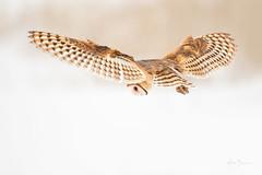 Barn Owl (m_Summers) Tags: utah wasatchfront barnowl northernutah nature marksummers hover ethicalowl birdofprey owl animal 2017 bird búho winter wildlife bif raptor tytoalba birdinflight