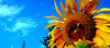 """Z albumu """"Słoneczniki""""nr.10 (andrzejskałuba) Tags: polska poland pieszyce dolnyśląsk silesia sudety europe panasoniclumixfz200 roślina plant kwiat flower sky niebo niebieski blue słonecznik sunflower owad insect pszczoła bee natura nature zieleń green garden ogród"""