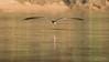 Talha-mar | Rayador (..Javier Parigini) Tags: brazil brasil br matogrosso pantanal pantanal2017 poconé pocone traspantaneira naturaleza nature aves ave birds pasaros nikon d4 200400mm vrii f4 javierparigini talhamar rayador rynchops niger black skimmer wildlife wildlifephotography vidasalvaje
