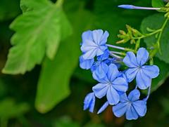 Garden blues (mariposa lily) Tags: blue blueflower blueflowers plumbago capeplumbago flower flowers bloom blooms blossom blossoms garden gardening shrub shrubs nikon nikond3300 d3300 capeplumbagoblue