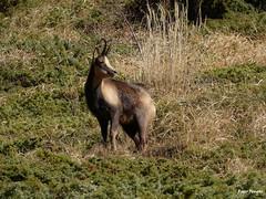 RENCONTRE AVEC LES ISARDS (rogerfeugas 2) Tags: pyrénées montagne nature animal