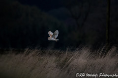 On a mission (davidrhall1234) Tags: barnowltytoalba barnowl owl outdoor outdoors birds birdsofbritain birdsofprey beak bird countryside nature nikon wildlife world endangered rural yorkshire feather flight hunting