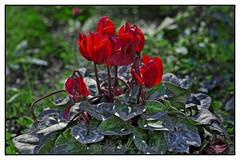 Χρόνια Πολλά Κατερίνες ! Να μας χαίρονται όσοι μας αγαπούν και να τους χαιρόμαστε κι εμεις! Να είμαστε πάντα ευτυχισμένες! (@Katerina Log) Tags: χρόνιαπολλά ευχέσ κατερίνα katerinalog nameday wishes flower plant cyclamen red happiness natura nature sonyilce6500 outdoor park garden griechenland depthoffield bokeh epz18105mmf4goss macro folliage leaf