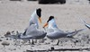 Lesser Crested Tern mating display. (tregotha1) Tags: michaelmas cay