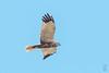 Western Marsh-Harrier (Circus aeruginosus)-2759 (Stein Arne Jensen) Tags: accipitridae aguilucholagunerooccidental arpella balearene balearicislands balearischeinseln bird bruinekiekendief brunkjerrhøk busarddesroseaux canonef100400f4556lisusm canoneos70d circusaeruginosus espagne espanya españa europa europe falconiformes fugl haukefamilien islasbaleares mallorca muro pajaro rohrweihe rovfugler salbufera sivhauk spain spania spanien steinarnejensen tsn559297 tartaranhãoruivodospauis vogel westernmarshharrier lintu oiseau ruskosuohaukka европа камышовыйлунь птица أوروبا مرزةالبطائح यूरोप ヨアロッパチュウヒ ヨーロッパ 歐洲 白头鹞 鳥 鸟 개구리매 유럽