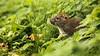 Rat (Distinctly Average) Tags: phillluckhurst distinctlyaverage wwwdistinctlyaveragecouk wildlife herts hertfordshire maplelodge rat brownrat mammal rodent canon handheld 7dmark2 100400ii