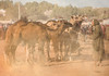 Had Draa Camel Market (ToriAndrewsPhotography) Tags: had draa morocco camel market local berber trade cattle photography andrews tori