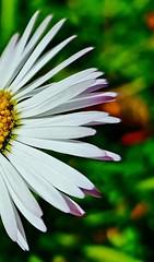 daisy ... browsing the petals ... what is the answer ... (brunocagiano) Tags: fiore macro margherita petali bellezza amore bianco giardino