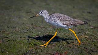 Greater Yellow-legs
