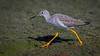 Greater Yellow-legs (Eric Gofreed) Tags: california greateryellowlegs sandiego yellowlegs