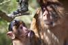 Hmmmmm (RoamingTogether) Tags: 70200vrii barbaryape barbarymacaque europe gibraltar macaque magot nikon nikon7020028 nikond700 rockofgibraltar