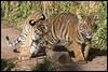 Moka And Rakan (KRIV Photos) Tags: bengaltiger dc sandiego sandiegozoosafaripark sumatrantiger tj tiger animal