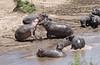 African Safari. The Fight. (Lena and Igor) Tags: safari travel africa kenya masaimara nationalreserve fight hippos mara river water sand nature dslr dx nikon d5300 nikkor 18300