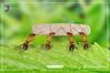 كيف يموت النمل ؟ (OrkidaPest) Tags: النمل حشرات الحشرات