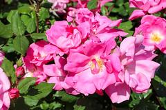 Maig_1489 (Joanbrebo) Tags: barcelona catalunya españa es park parque parc parccervantes garden jardí jardín flors flores flowers fleur fiori blumen blossom rosa rose