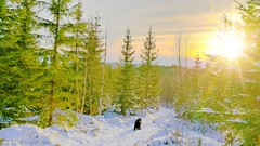 Woof, he says.   One more, I say. (evakongshavn) Tags: landscapephotography landscape landschaft winterlandscape naturelandscape lapinkoira lappie lapphund suomenlapinkoira finnishlapphund outside outsidepictures outdoors outhiking outdoor outdoordogs outdoorphotography outdoorsphotography photoshoot photooftheday unlimitedphotos photography new light natur nature beautifulearth beauty fabulous fantasticnature yellow yellowlight greencolor green greenforest greenandwhite forest forestbathing wald walk hike dog flickrdogs winter winterwonderland snow snowdog cold crisp sun sunlight sunnyday white whitetrees arbre tree paysage