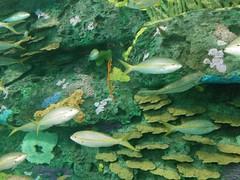 Against the reef #toronto #ripleysaquarium #aquarium #fish #yellow #latergram (randyfmcdonald) Tags: fish ripleysaquarium latergram yellow aquarium toronto