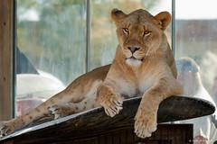 Lion (dpsager) Tags: africanlion columbus columbuszoo dpsagerphotography lion ohio zoo zoosofnorthamerica