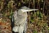IMG_1034b (Naturecamhd) Tags: canonpowershotsx700hs sx700hs newyorkbotanicalgarden nybg nature eco botanicalgarden leaves bronx thebronx greatblueheron bird birding twinlakes