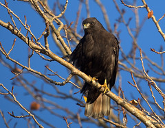 dark morph Red-tailed Hawk (miketabak) Tags: