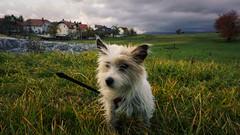 Hrasce, Postojna - Slovenia (DiSorDerINaMirrOR) Tags: dog jackrussel terrier love landscape slovenia hrasce postumia postojna nature garden rural sony sonyalpha sony6000 sonyalpha6000