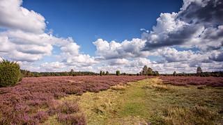 Die Heide blüht.jpg