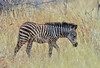 African Safari. Small zebra in a tall grass. (Lena and Igor) Tags: safari travel africa kenya masaimara zebra animal mammal grass bokeh portrait dslr fx nikon d810 sigma 150600