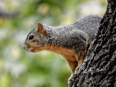 Up a Tree! (clarkcg photography) Tags: squirrel tree fall animal fauna sundayfauna 7dwf challenge16naturebokeh naturebokeh challenge16 smileonsaturday beautyofthebeast