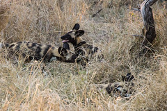 African wild dogs playing (náám nààm.) Tags: wilddog wild dog african south africa kruger national park safari