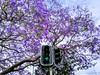Jacaranda signal, Sydney (Raja Islam) Tags: jacaranda tree traffic light signal green bloom sydney