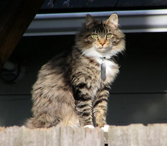 Neighbor Kitty (ambrknr) Tags: kitty cat striped tiger pet