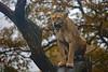 Unmut (Mel.Rick) Tags: zooduisburg säugetiere mammals raubtiere natur nature tiere animal löwe löwin raubkatzen groskatzen pantheraleo