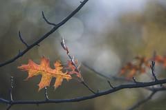 Another leaf (Kariverb) Tags: leaf bokeh dof autumn holland light orange