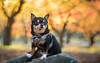Portrait of a Chihuahua in Autumn (Tracy Munson Photography) Tags: delgado gta ontario petzval58 petzvallens torontopetphotographer autumn autumnleave bokeh chihuahua dog dogphotography dogportrait dogs fall fallcolors heartshapedbokeh highpark lomography nature petphotography petportrait pets toronto