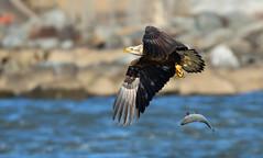 Oops (CU TEO MD) Tags: conowingo eagle outdoor maryland wildlife thewildlife nikon d500 sigma150600mmsport sigma sigma150600mmf563dgoshsm|s fish bird ngc npc twop soe artofimages simplysuperb conowingodam