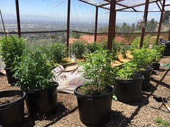 IMG_5346 (CannaPsy) Tags: medicalcannabis medicalmarijuana cannabis organic sungrown truelivingorganics notill weed ganja herb dank caliweed cleanmeds ecofriendly legalization warondrugs prohibition