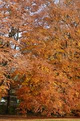 P1270733 (steve p2008) Tags: burtonupontrent autumn november2017 woodland trees