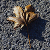 Autumn Gold (Brian 104) Tags: leaf maple road shadow autumn foreboding sign fallen
