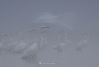 Flock of great Egrets