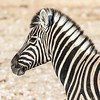 B&W Portrait (gecko47) Tags: plain veldt savannah etoshanationalpark namibia zebra portrait commonzebra plainszebra burchellszebra equusburchelli horse equine blackwhite