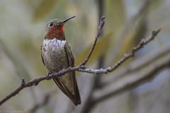 Male Broad-tailed Hummingbird (Patrick Maurice) Tags: nikon nature d3200 birding bird arizona camp chiricahua animal wild wildlife bokeh focus outdoors