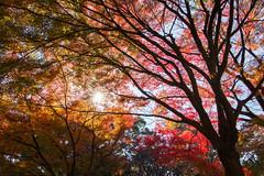 Nature's Veins (arbivi) Tags: autumn fall foliage koyo momiji japanese maple tree leaves red orange yellow tokyoimperialeastgardens imperial garden tokyo japan canon 60d tamron arbivi raymondviloria